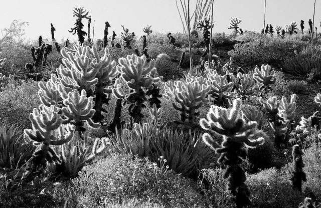 cacti in Anza Borrego Desert State Park
