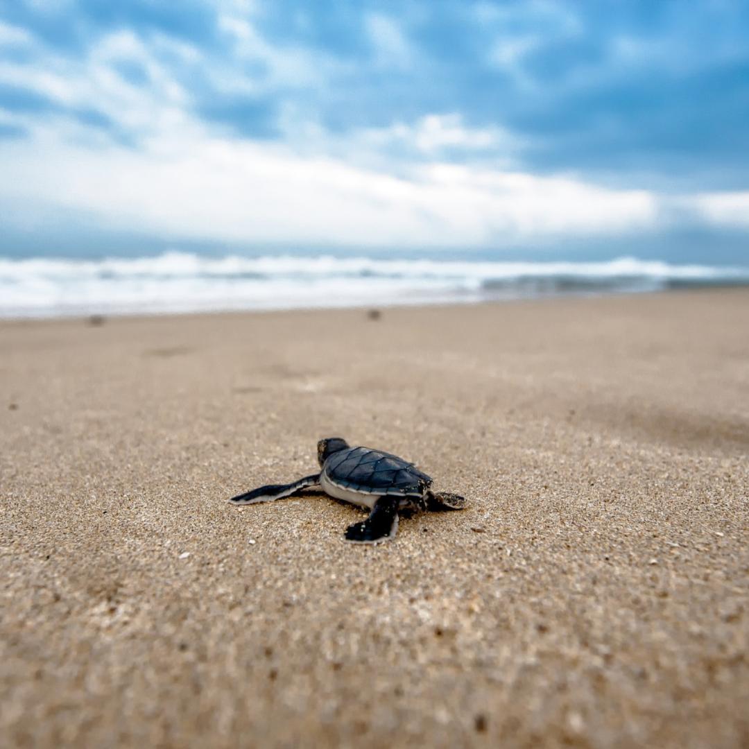 ReThinkDisposable_Sea Turtle_Adobe Spark (1).png