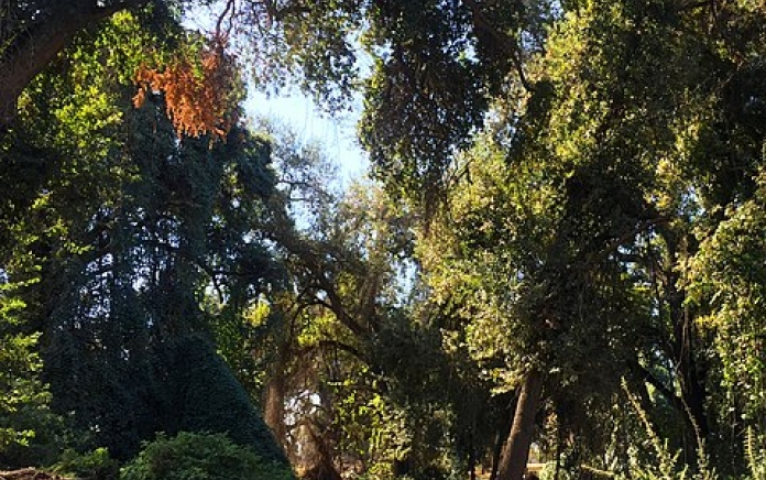 trees in Kaweah Oaks Preserve